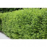 Vintergrön liguster 50-80 cm 6-10 grenar 100-pack